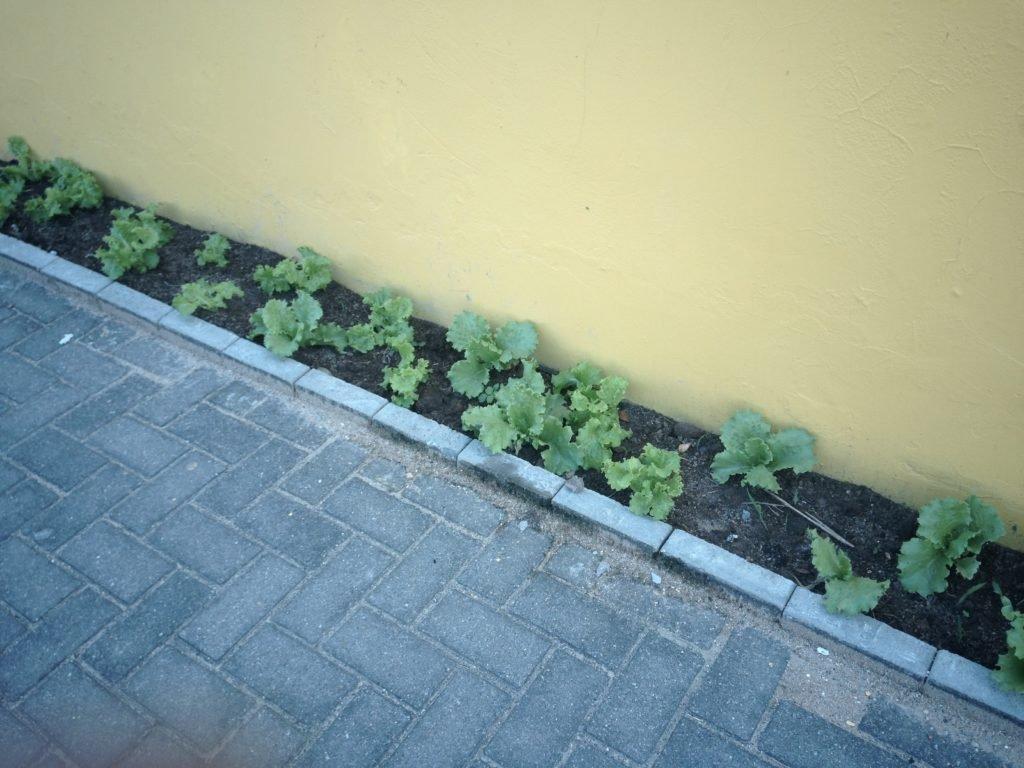 Horta na rua, projeto do CELS em Palhoça
